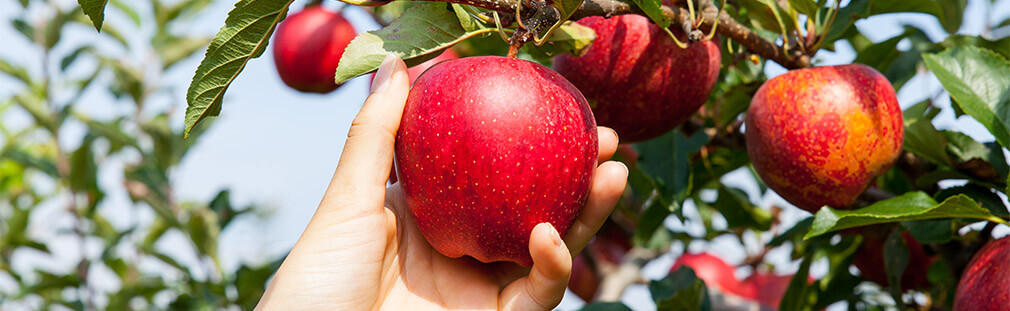 Apples: The Widely Loved Autumn Offering