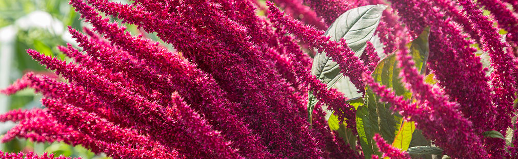 Amaranth agricultural advantages